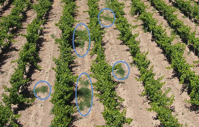 Using Drones to help measure weed infestation in vineyards